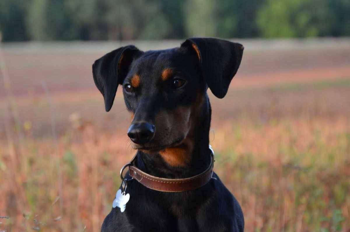 Немецкий пинчер - породы пинчеров - собаководство - собственник