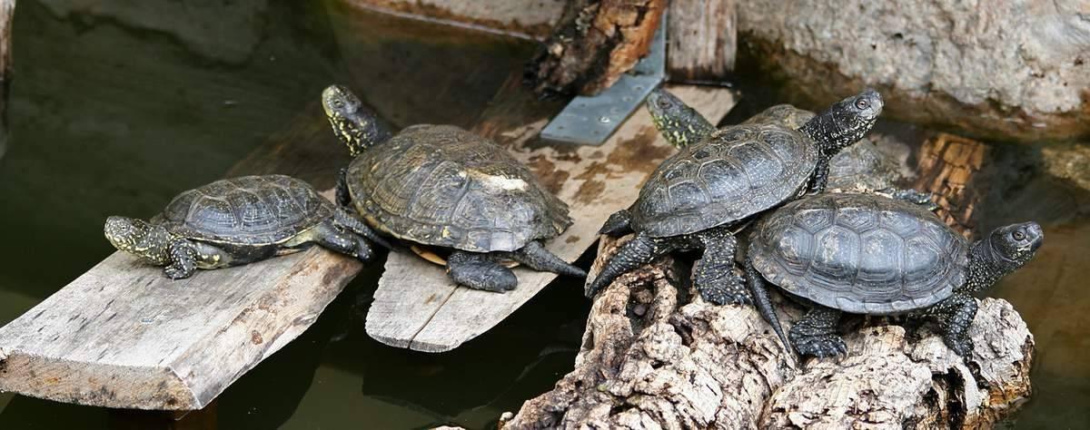 Болотная черепаха — внешний вид, среда обитания, образ жизни и советы по уходу и содержанию в домашних условиях