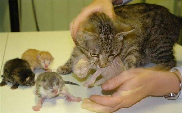 Может ли кошка родить с интервалом в несколько дней