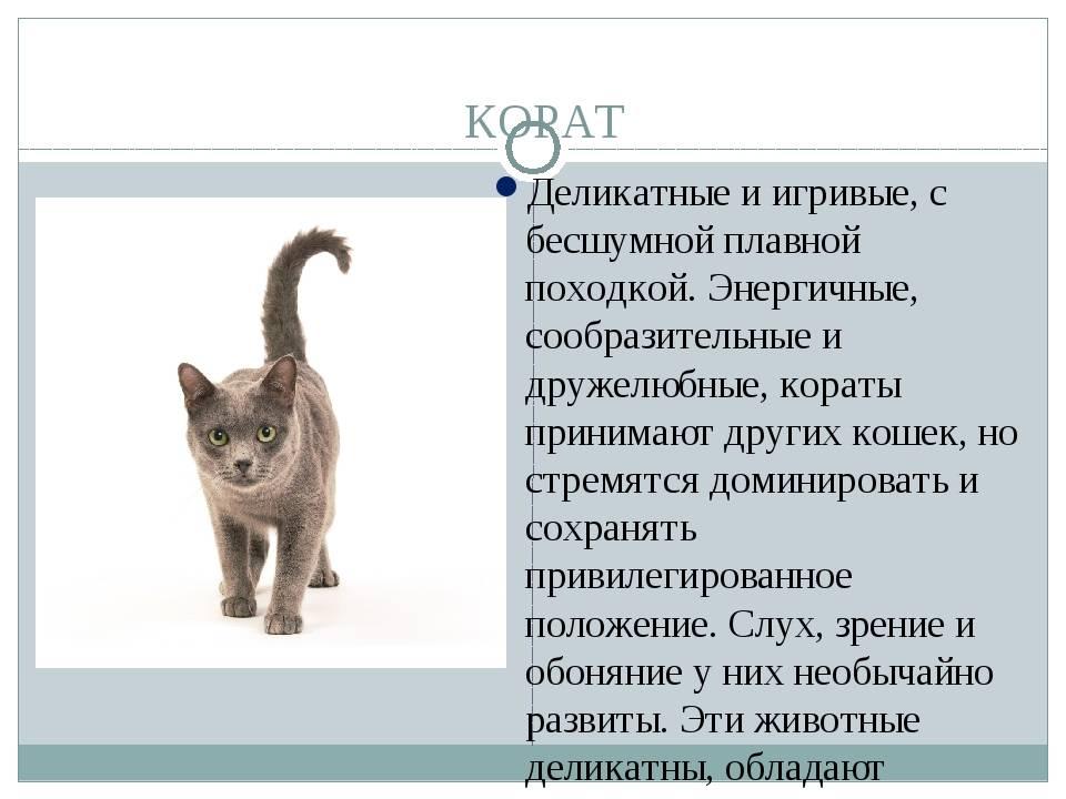 Сомалийская кошка: порода с идеальным характером