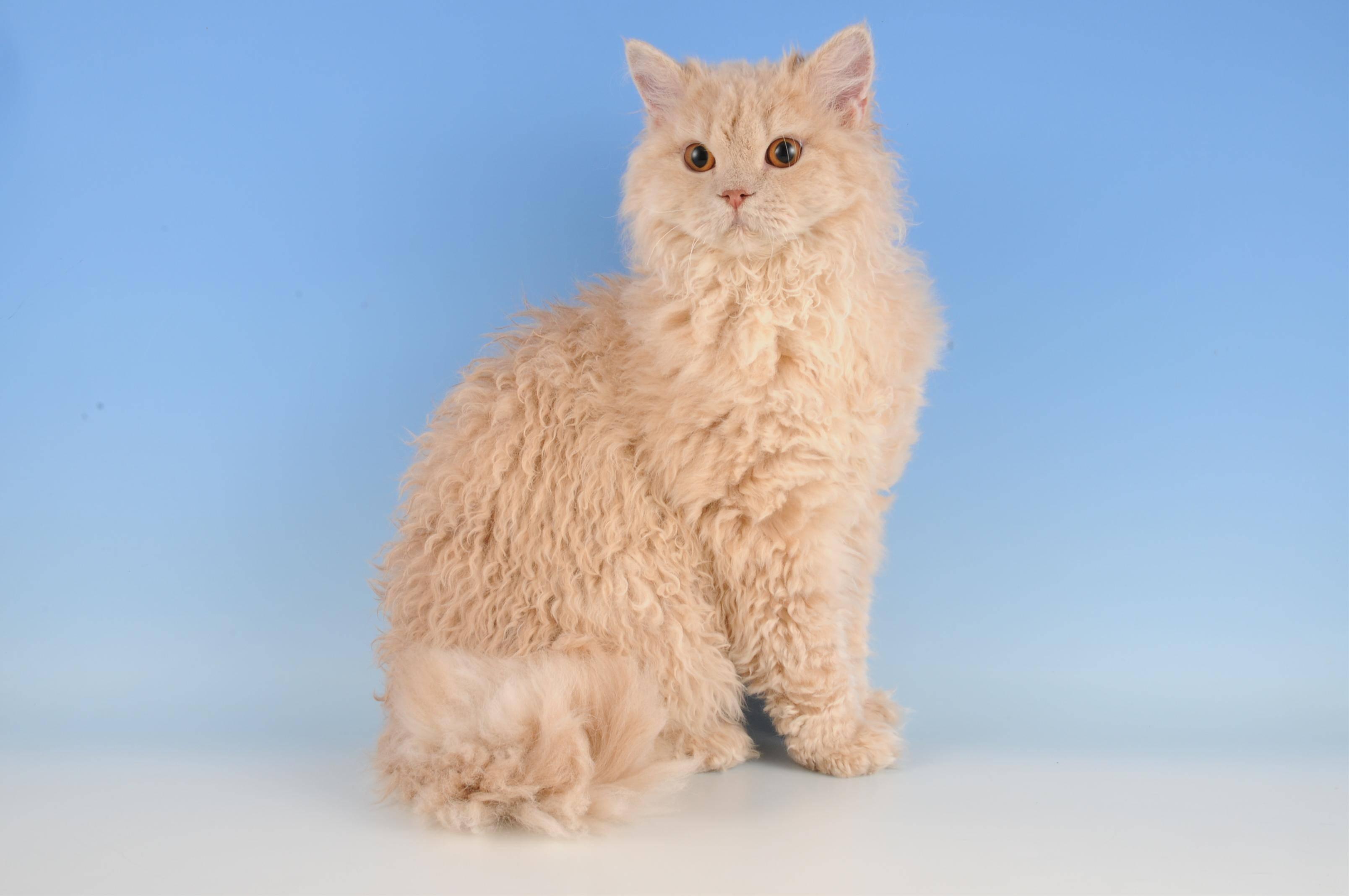 Кошки селкирк-рекс: описание породы, характер, цена, содержание и уход, фото