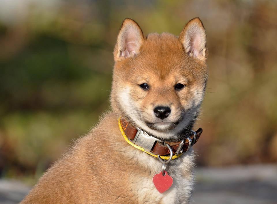 Сиба-ину: 95 фото особенностей и советы по выбору щенка. видео описание ухода за собакой