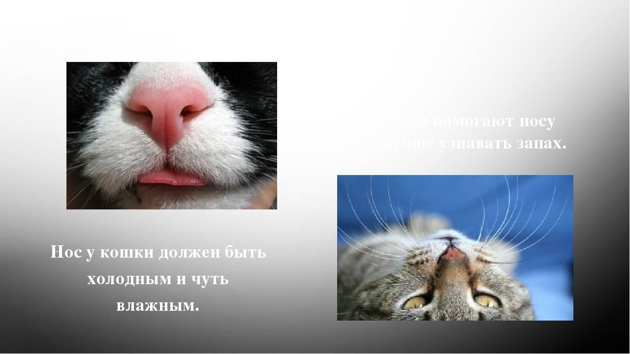 Какой должен быть нос у здоровой кошки и какой бывает у больной? каким должен быть нос у здорового кота