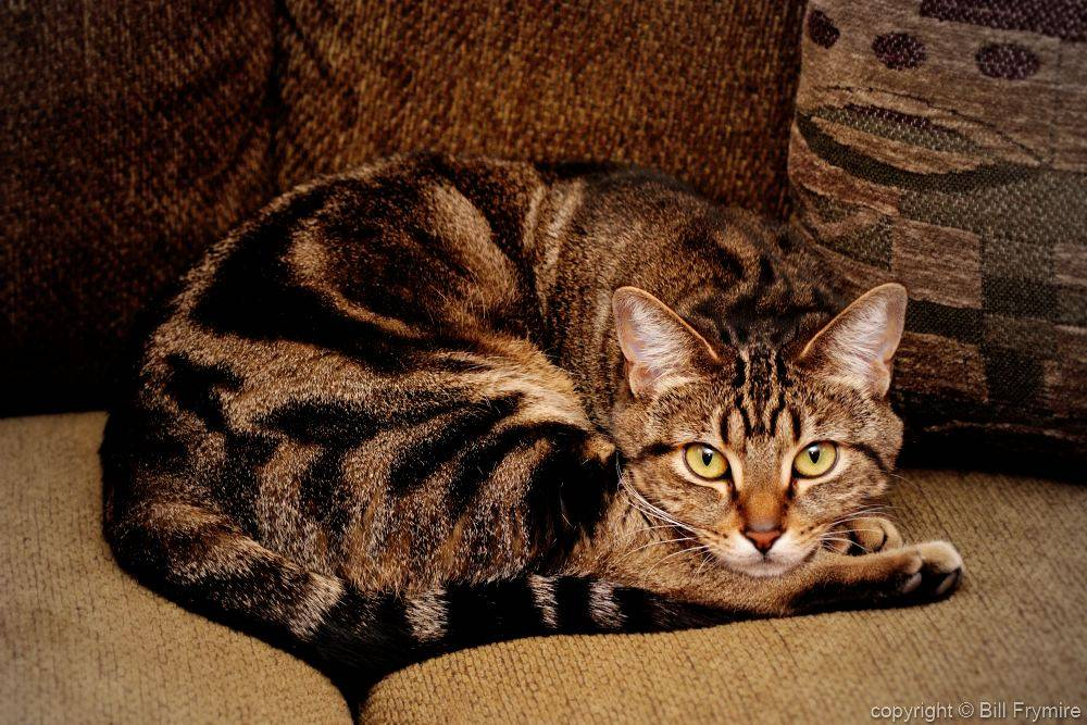 Описание китайской породы кошек - zhivomag