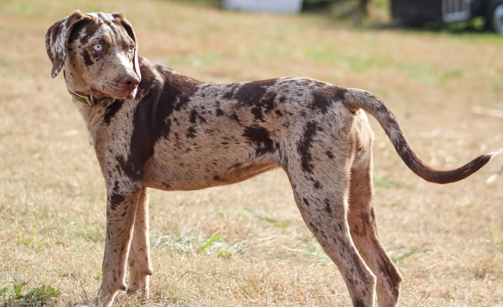 Леопардовая собака катахулы: особенности ее содержания, отзывы владельцев