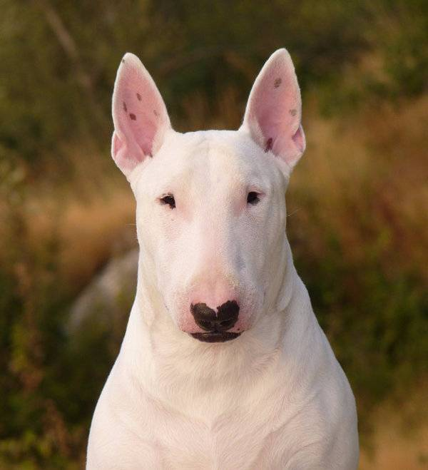 Породы бойцовых собак с фотографиями и названиями – питбуль с крысиной мордой