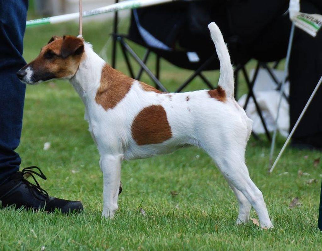 Жесткошерстный фокстерьер (33 фото): описание породы длинношерстных собак, характер щенков. сколько они живут? дрессировка
