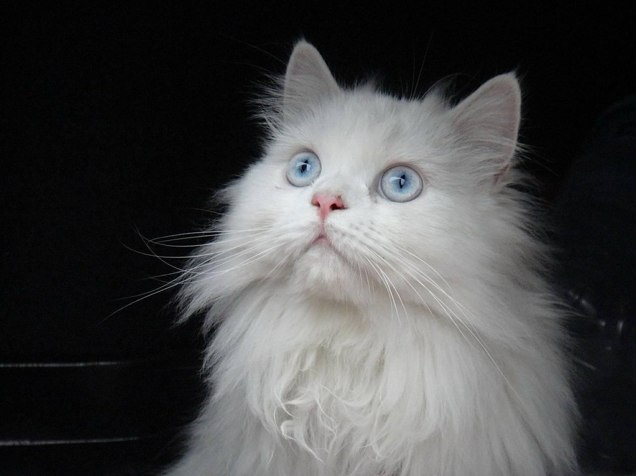 Кошки с голубыми глазами: породы