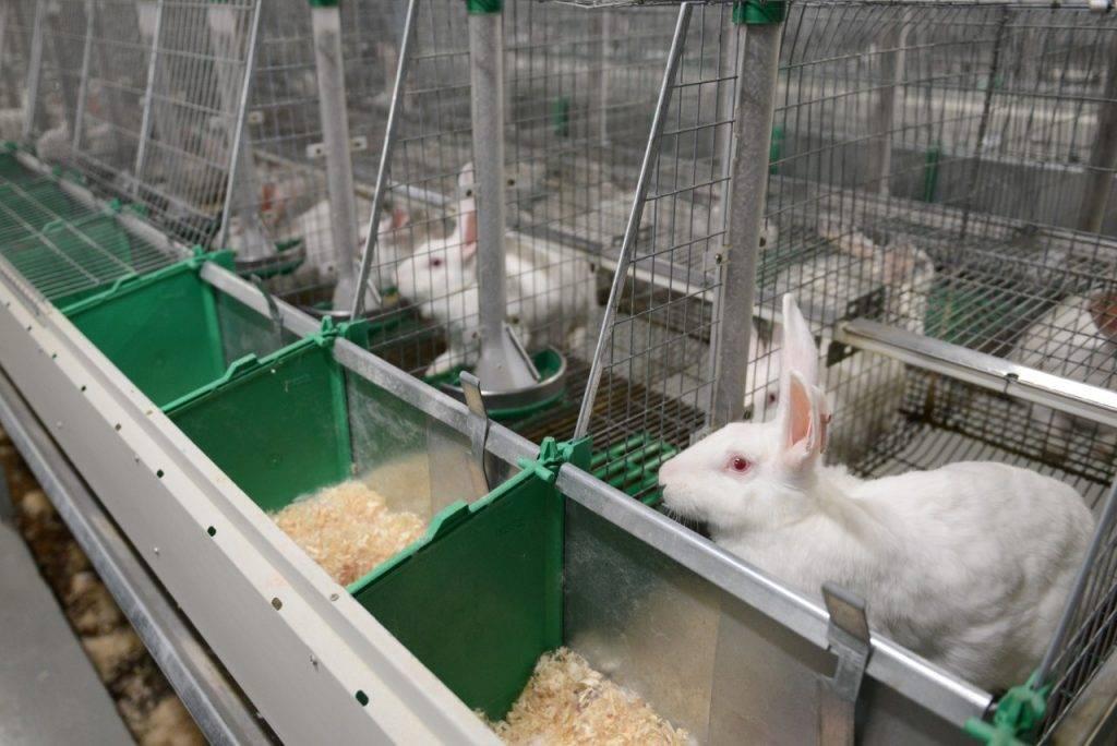 Разведение кроликов: три вида кролиководства, рассчитываем начало бизнеса — 2021 портал делового мира koordynator.info