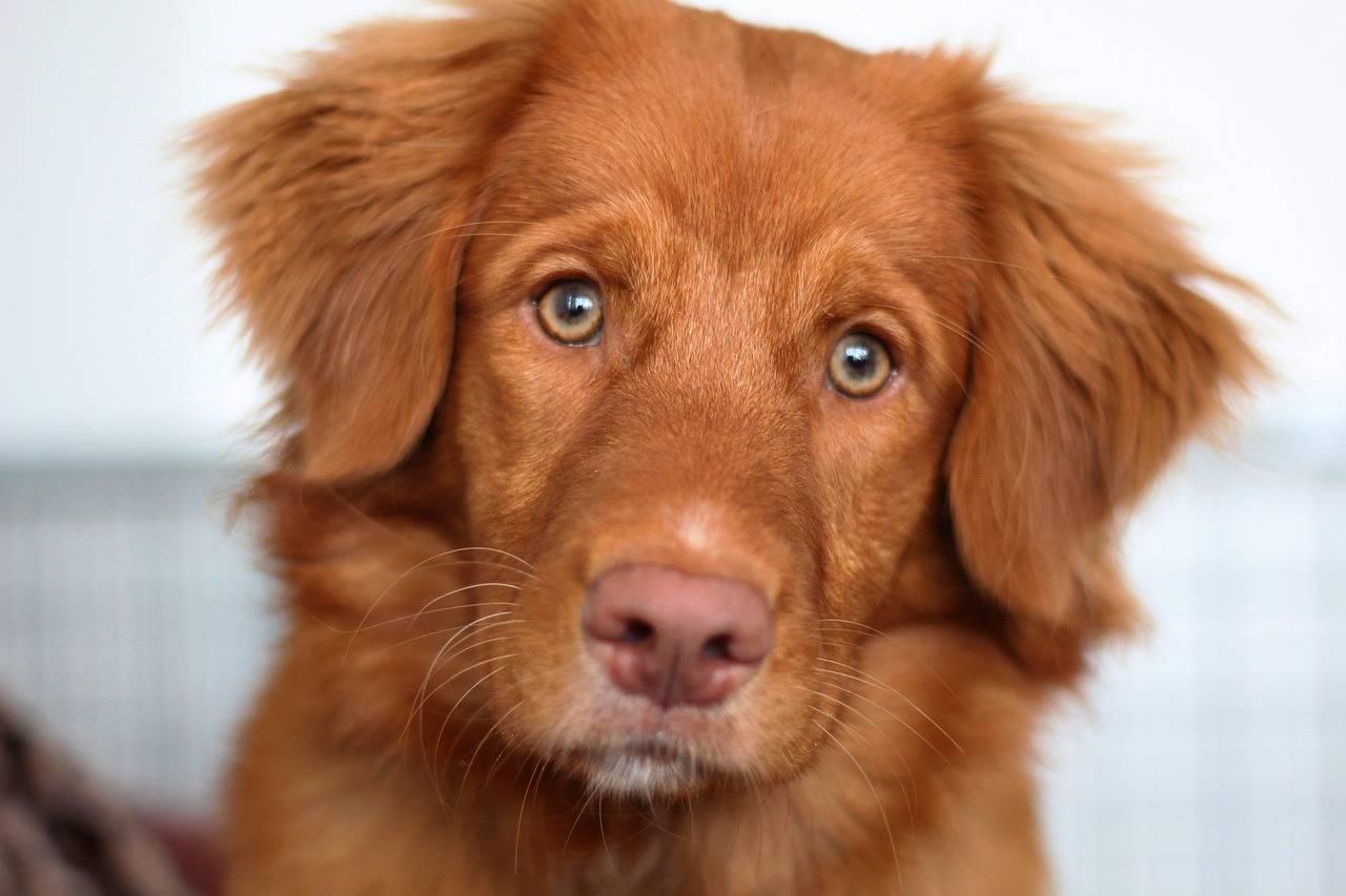 Новошотландский ретривер (толлер): описание породы собаки, фото, характер, уход и содержание, щенки
