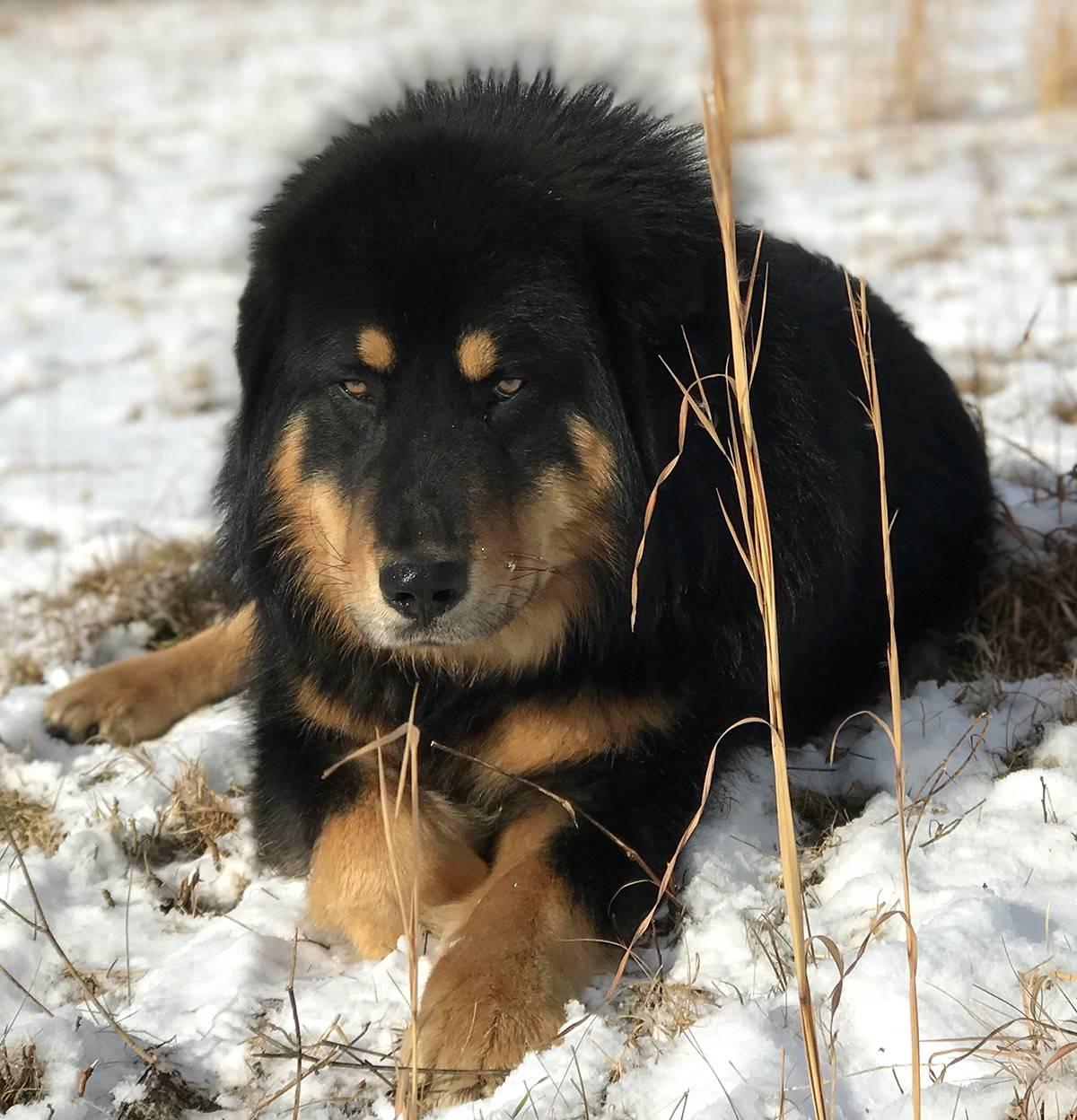 Бурят-монгольский волкодав (хоттошо)