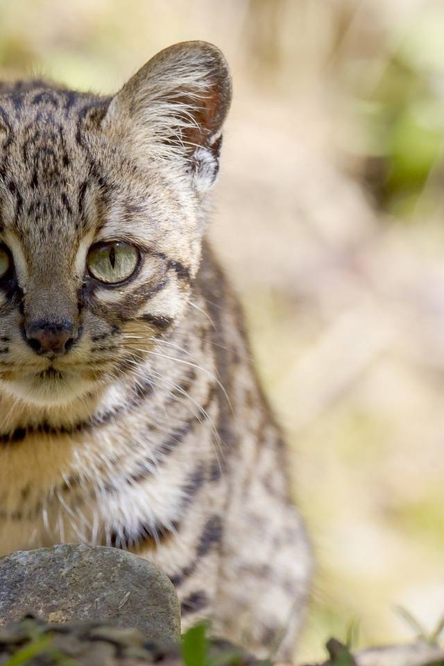 Сафари кошка: как выглядит, характер, правила ухода