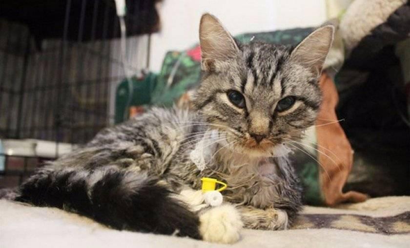 Чумка у кошек – симптомы, лечение, профилактика