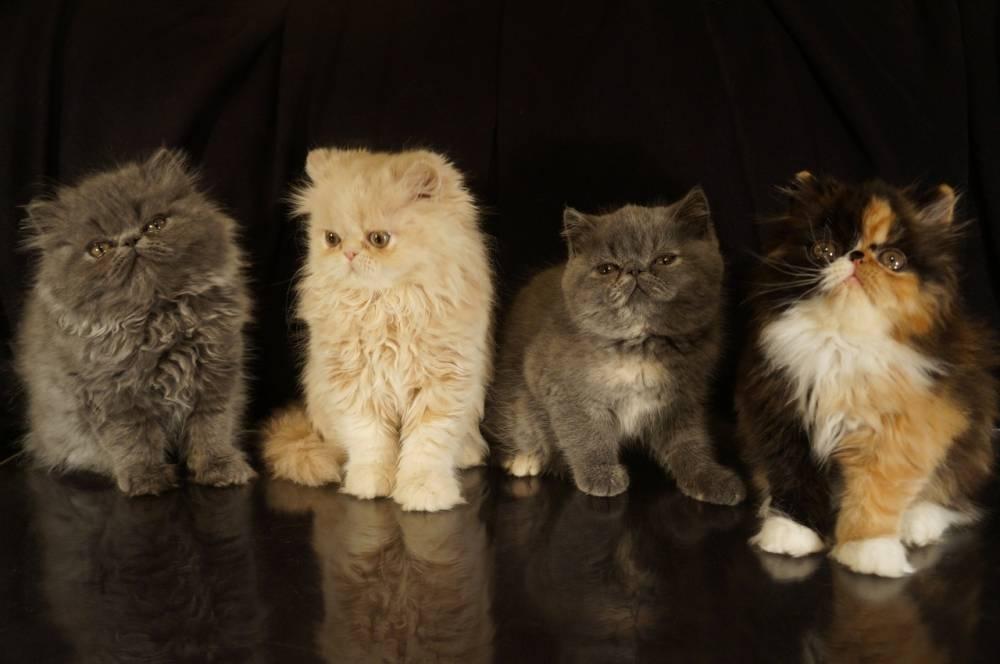 Чем кормить персидскую кошку и основные правила ухода