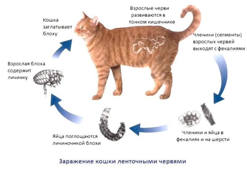 Кишечные паразиты у кошек лечение - муркин дом