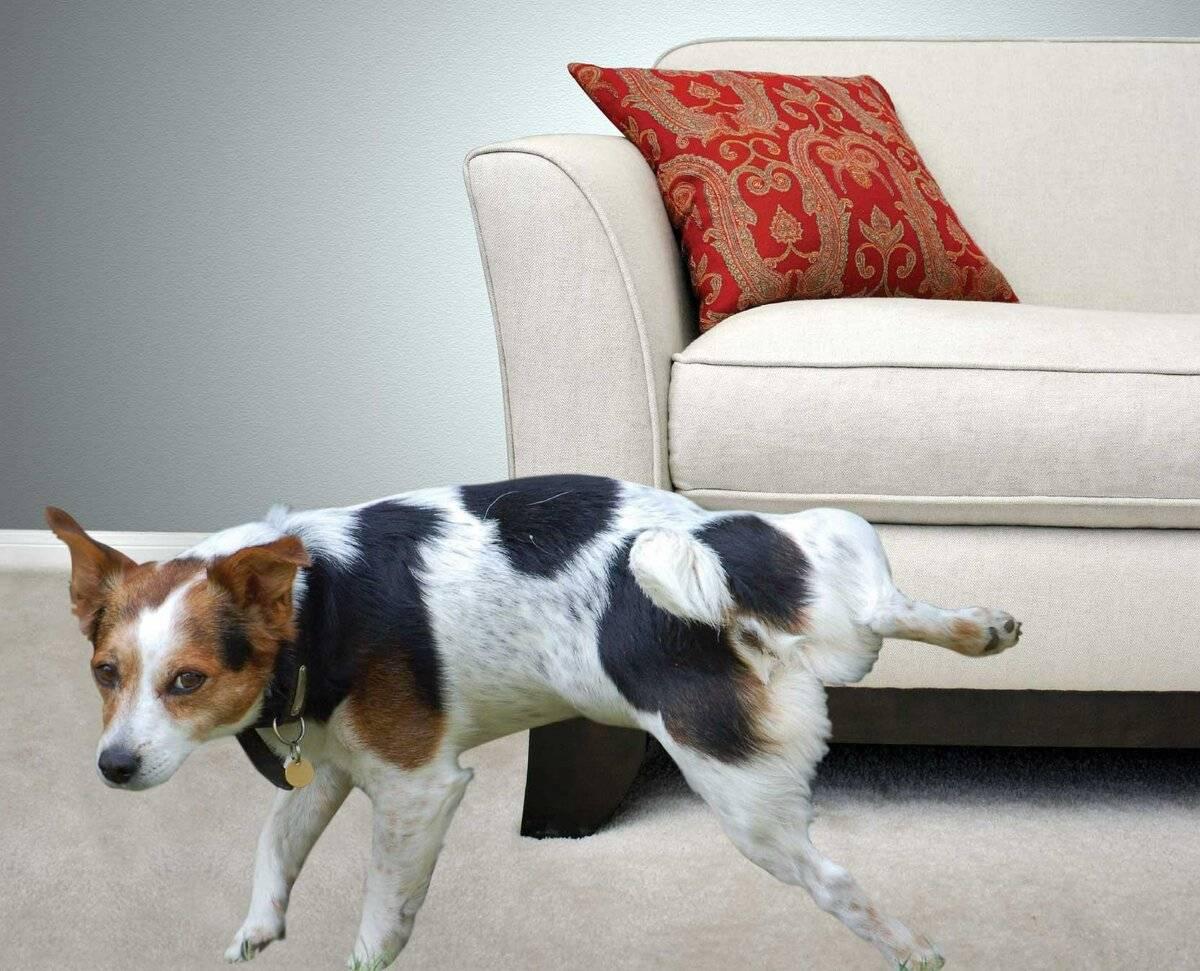 Как отучить собаку метить территорию в доме: что делать, эффективные методы