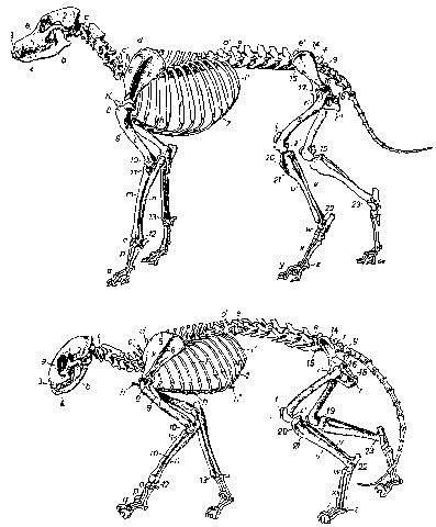 ᐉ строение внутренних органов собаки - zoomanji.ru