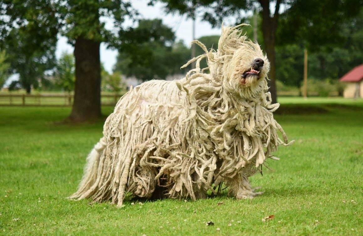 Как называются собаки с дредами: описание пород с необычным типом шерсти