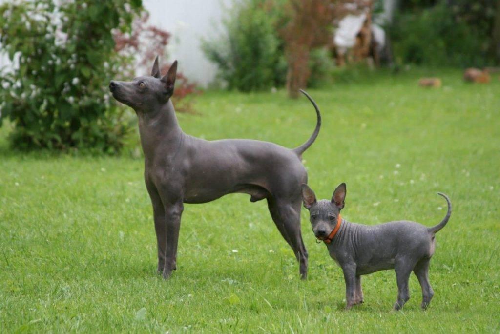 Американский голый терьер: описание, стандарт собаки, уход, фото