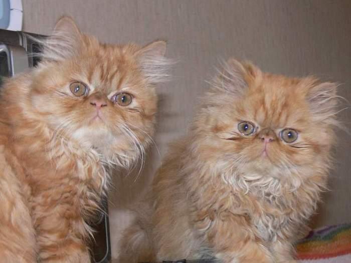 Чем кормить персидских котят, кошек и котов