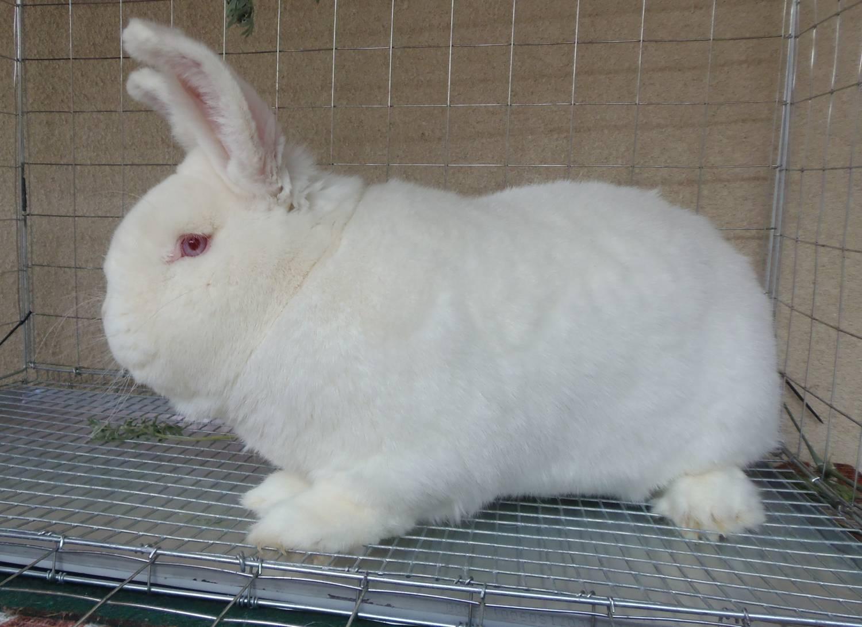 Новозеландская белая порода кроликов: как ухаживать и чем кормить