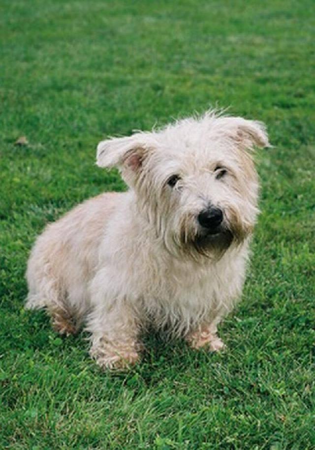 Норвич-терьер: все о собаке, фото, описание породы, характер, цена