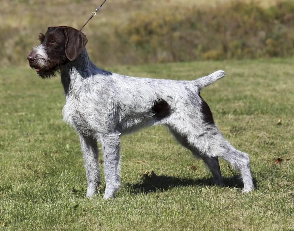 Дратхаар: фото и описание породы собак дратхаар: фото и описание породы собак