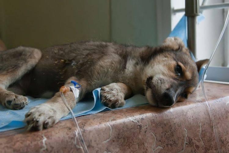 Парвовирусный энтерит у собак