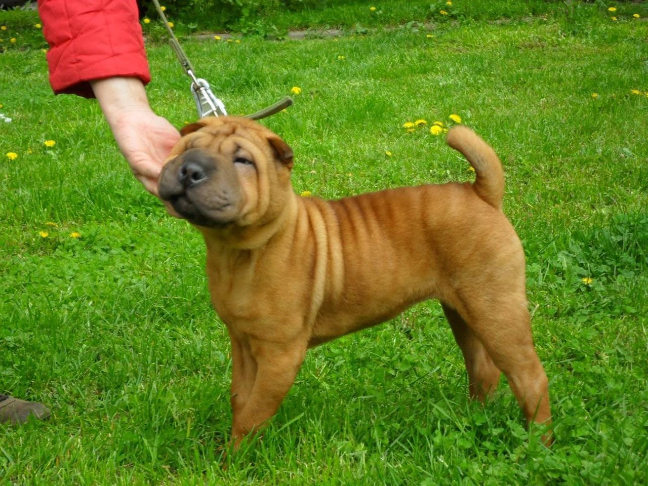 Шарпей (собака): характеристика китайского и американского видов