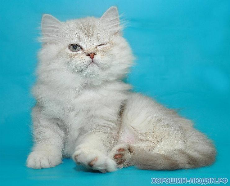 Шотландская прямоухая длинношерстная кошка (хайленд страйт): 80 фото, описание
