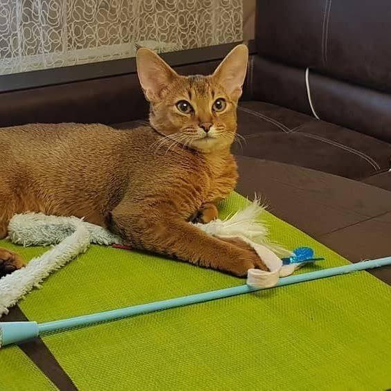 Чаузи: описание породы кошек, характер, здоровье (с фото и видео)