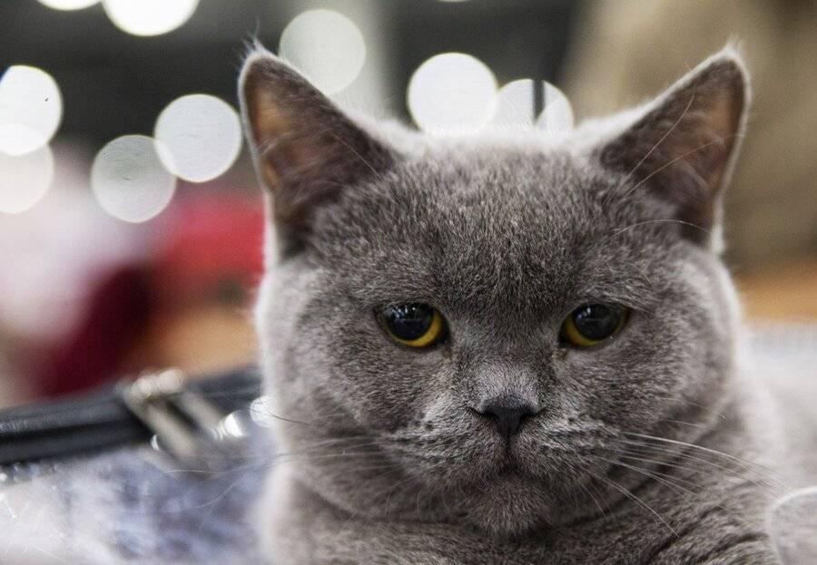12 самых больших пород кошек