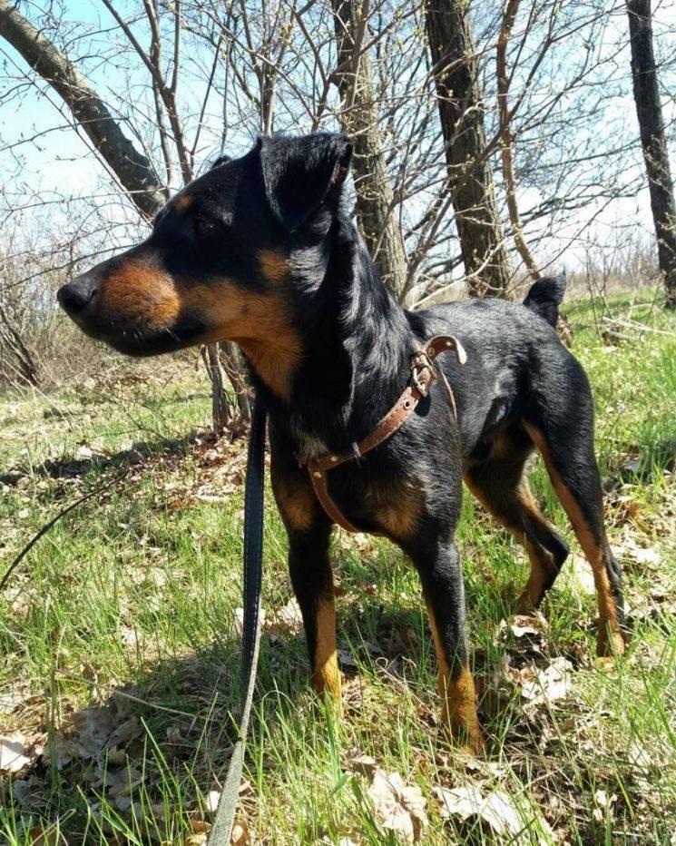 Ягдтерьер (немецкий охотничий терьер) описание породы с фото и видео