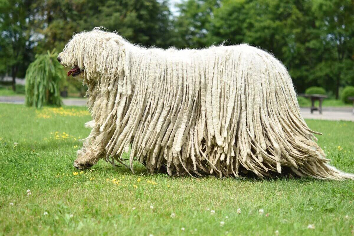 Венгерская овчарка комондор: описание породы и характер собаки