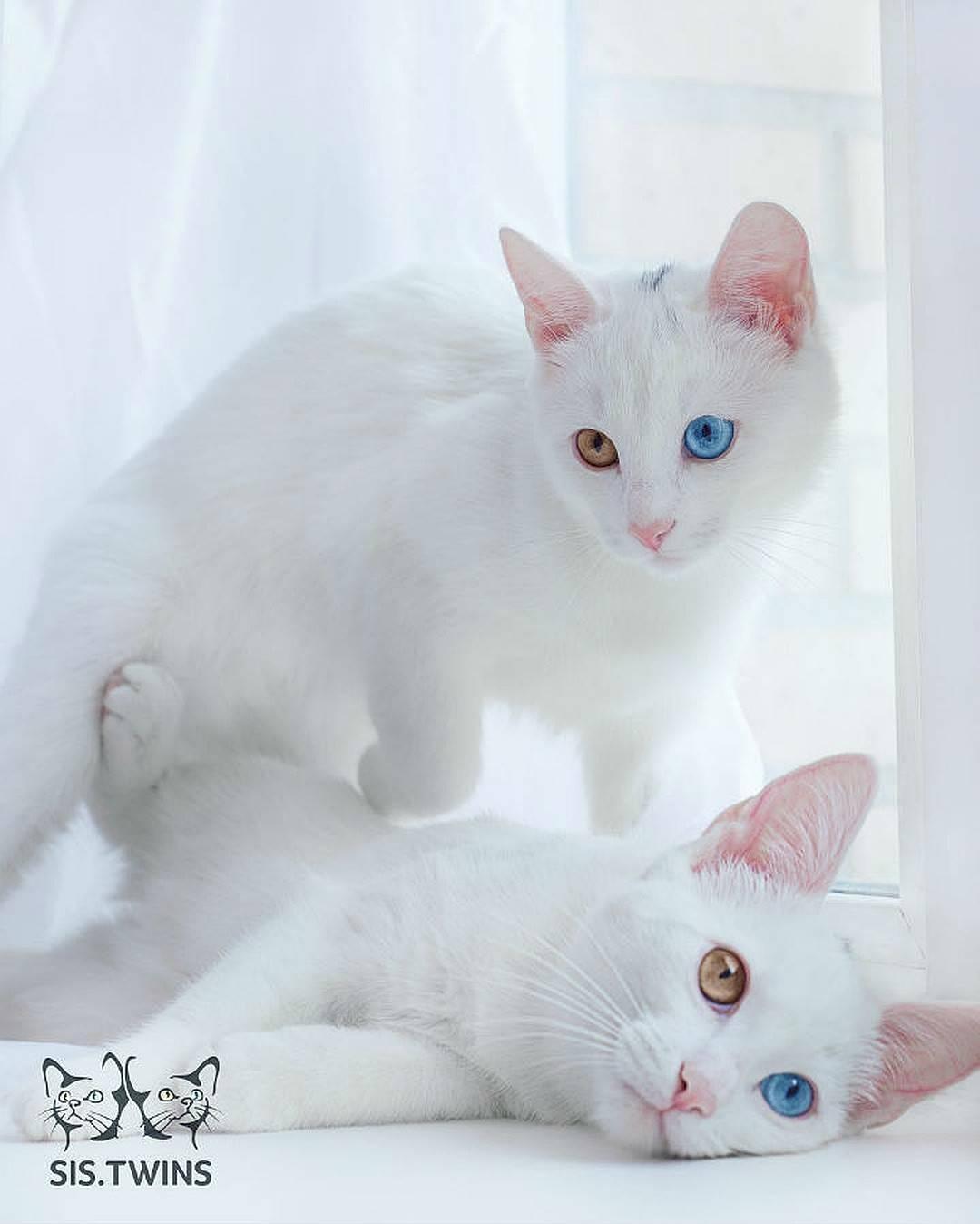 Популярные породы белых котов, их фото