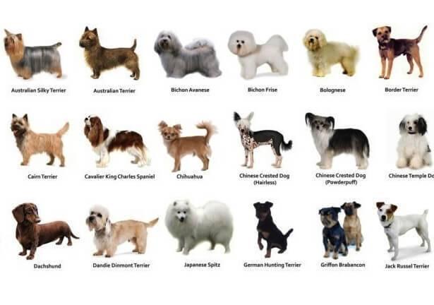Собака туди — самая маленькая в мире: описание и цена