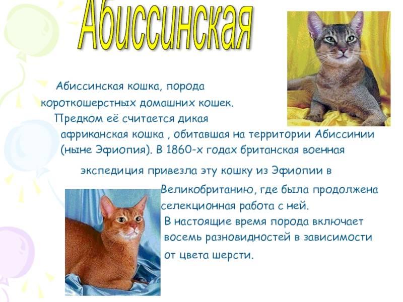 Абиссинская кошка — окрас котов-абиссинцев