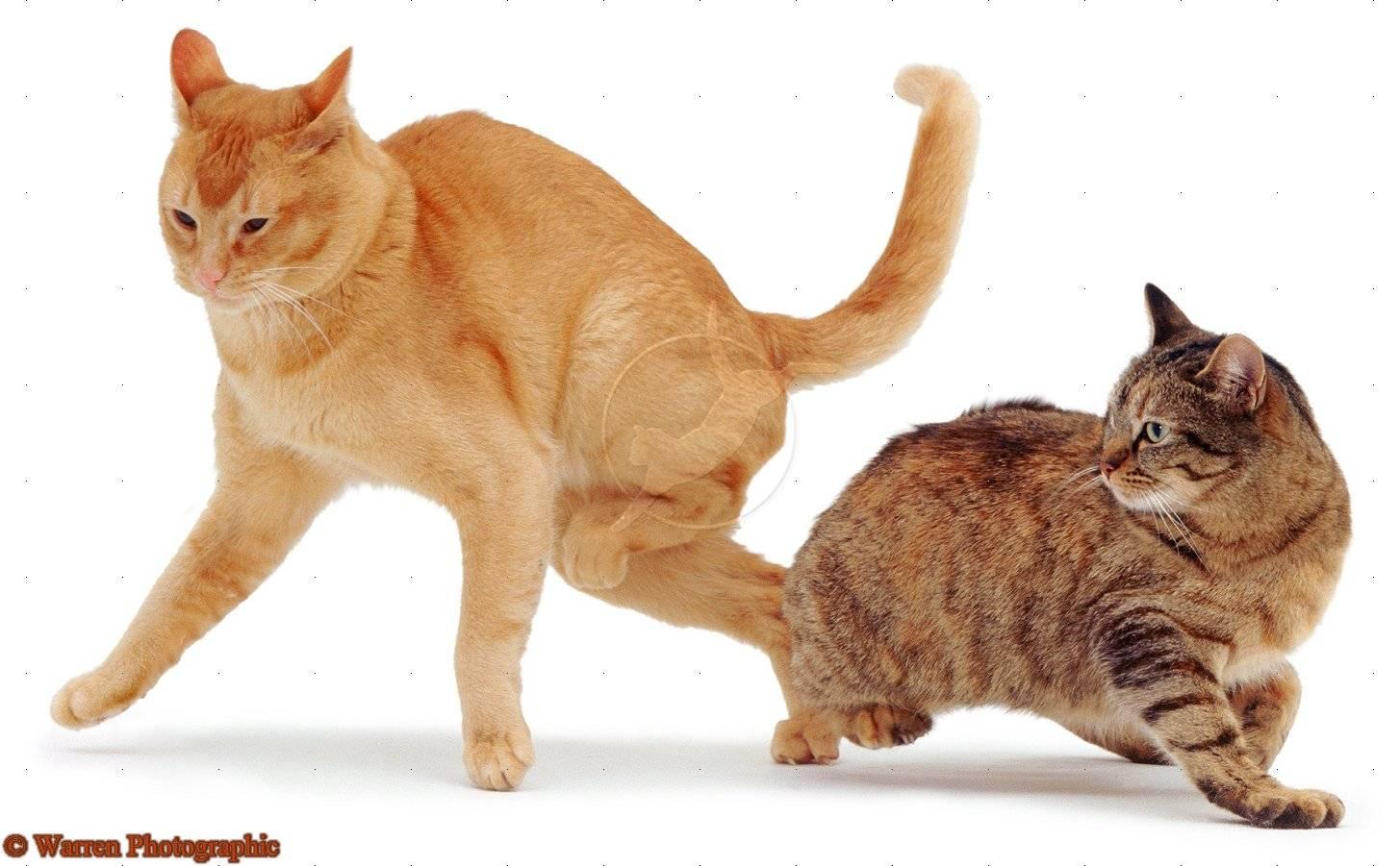 ᐉ как проходит вязка кошек? - ➡ motildazoo.ru