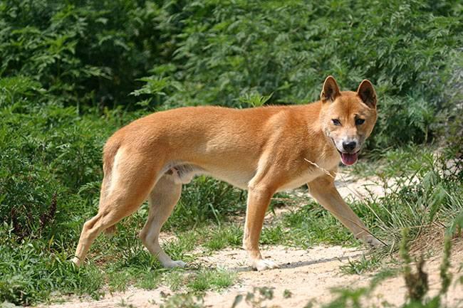 Новогвинейская поющая собака: описание породы, характер, фото | все о собаках