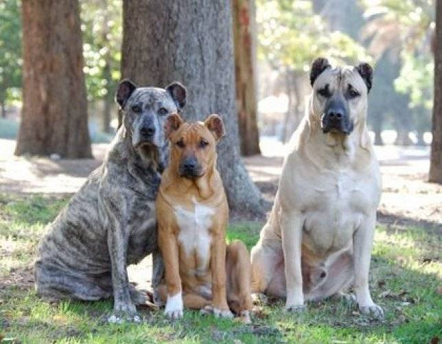 Уругвайский симаррон: описание породы собак с фото и видео