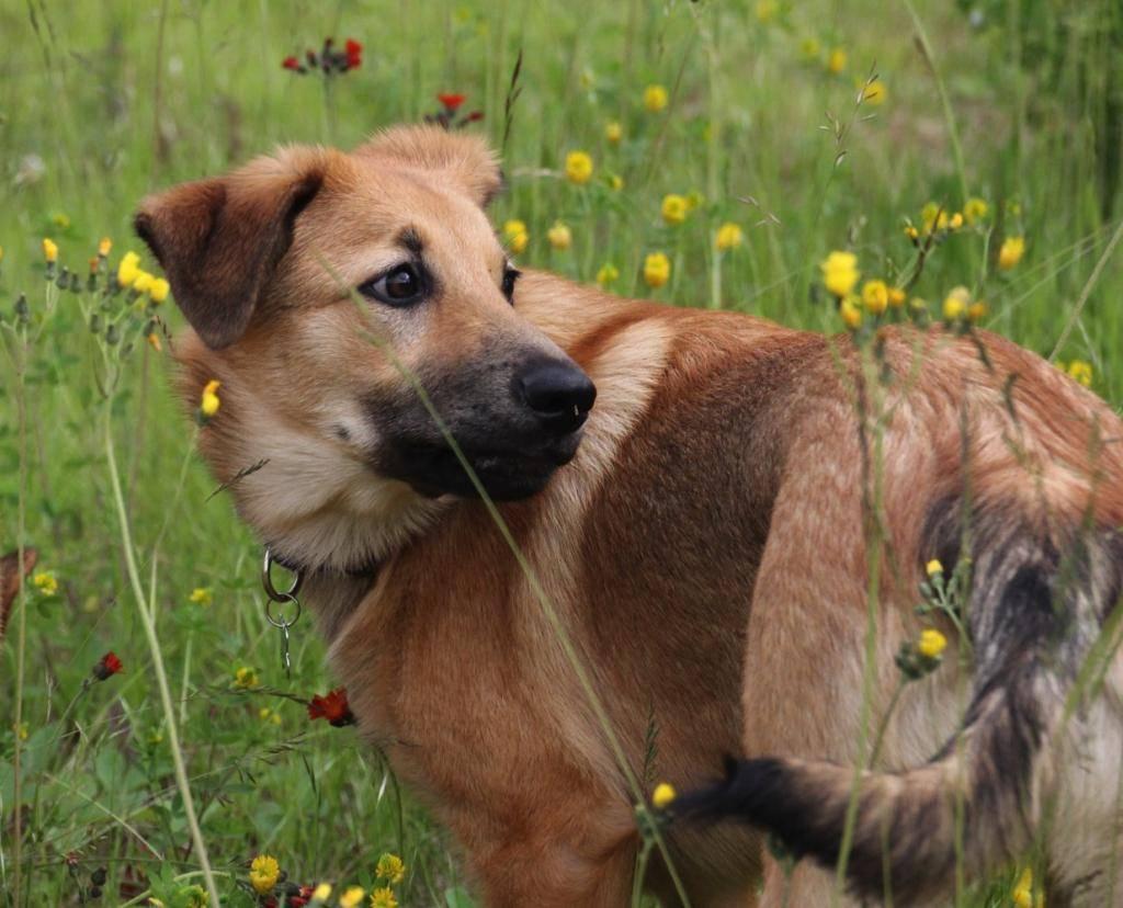 Карело-финская лайка: фото, описание породы, характер и уход за собакой