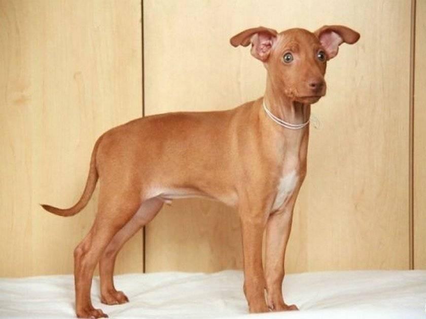 Чирнеко дель'этна— собака с острова сицилия