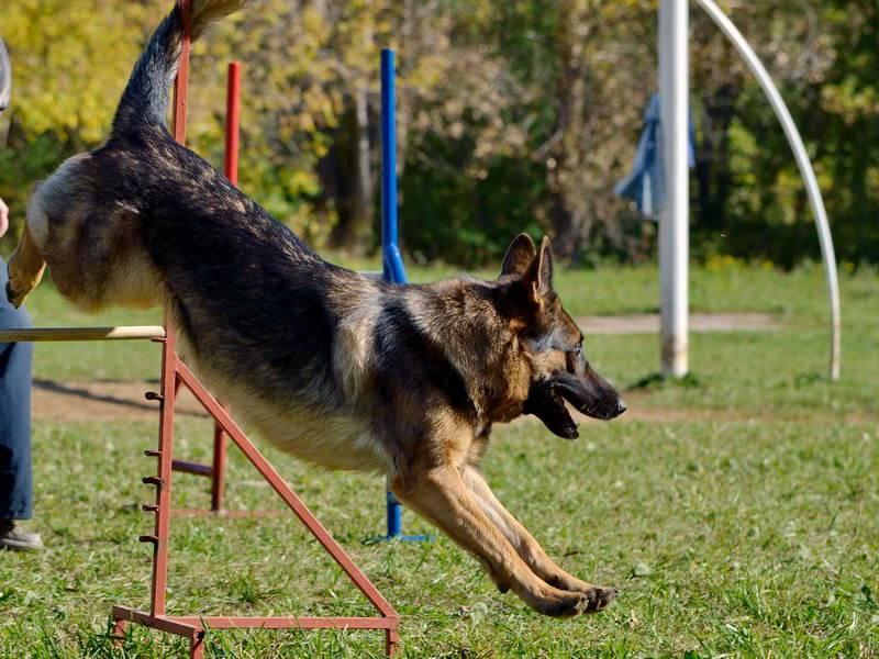 """Команда """"ко мне"""". послушание собаки. обучение, наказание, поощрение."""