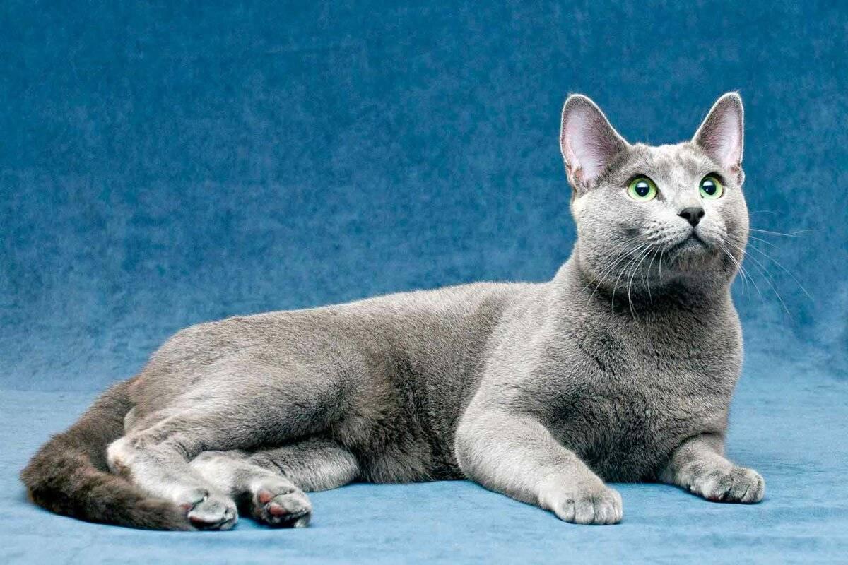 30 самых популярных пород кошек и их происхождение