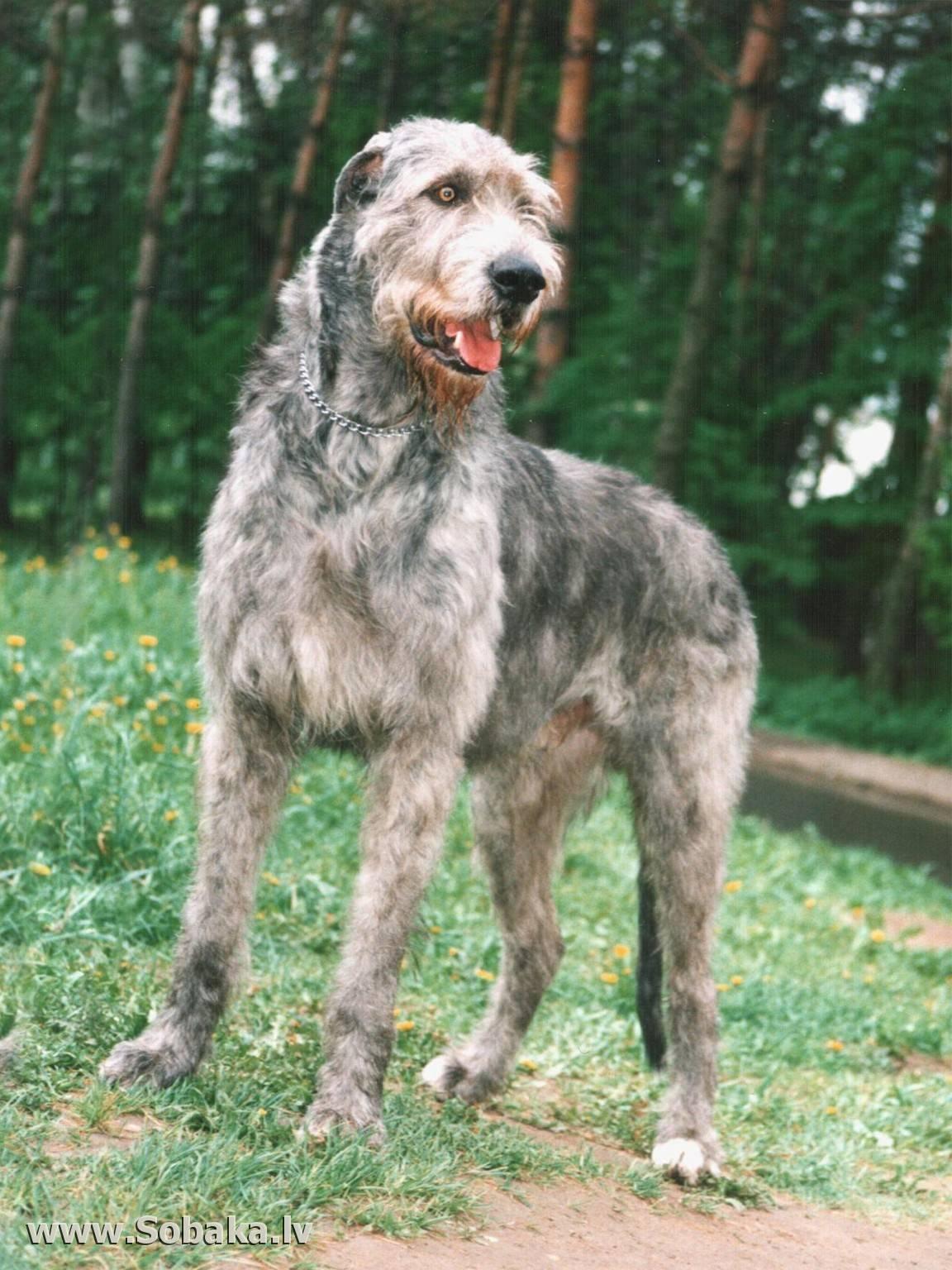 Волкодав: порода собак или назначение? описание волкодавов, фото