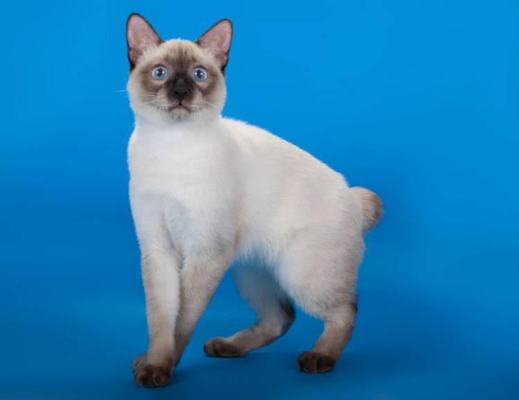 Меконгский бобтейл  фото кошки, описание породы, характер, уход, стандарты