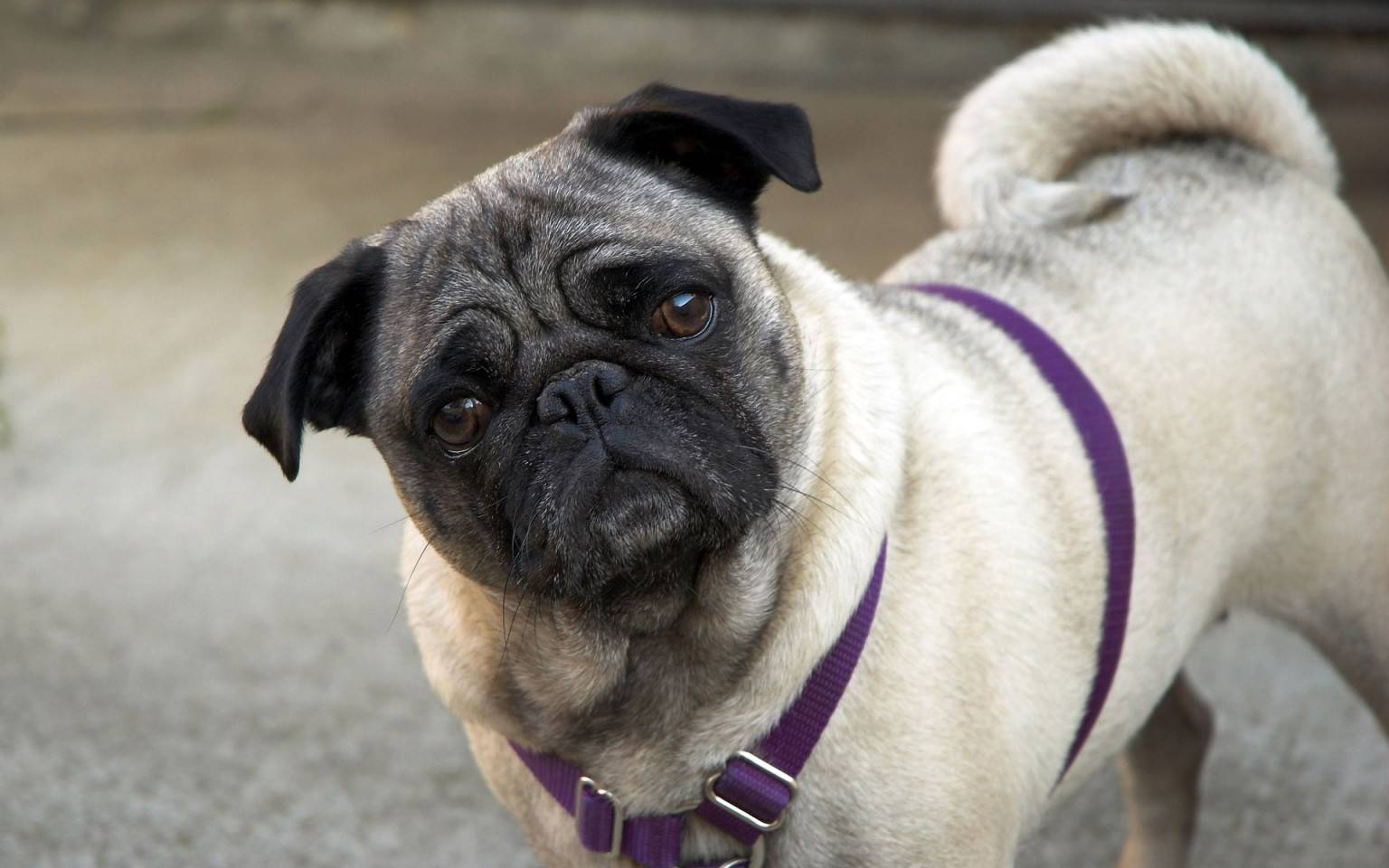 Собаки, похожие на мопсов: список пород маленьких и средних собак, правила их содержания