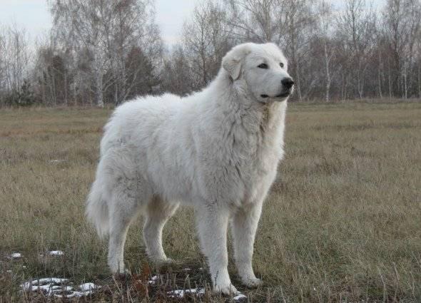 Маремма-абруццкая овчарка — фото, описание породы, особенности содержания и уход за собакой
