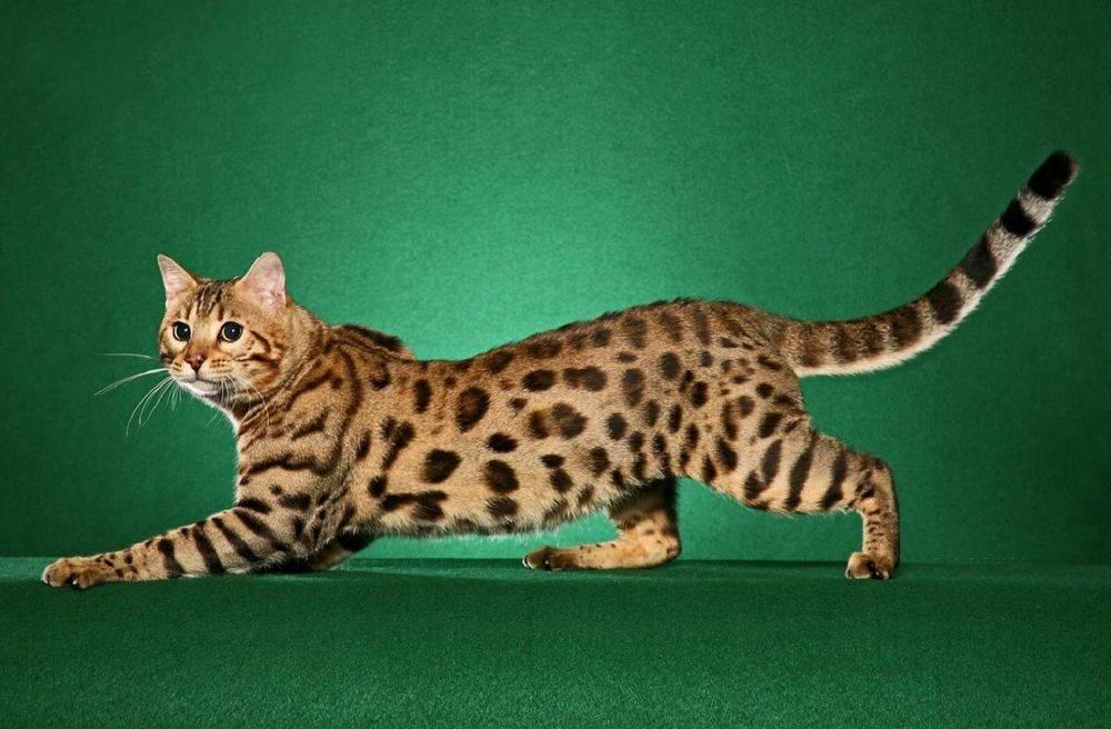 Пятнистые кошки: породы с названиями и фотографиями   окрас с пятнами