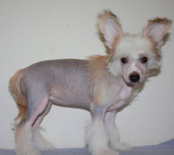 Китайская хохлатая собака фото, хохлатая пуховая, цена, модели стрижек китайской хохлатой